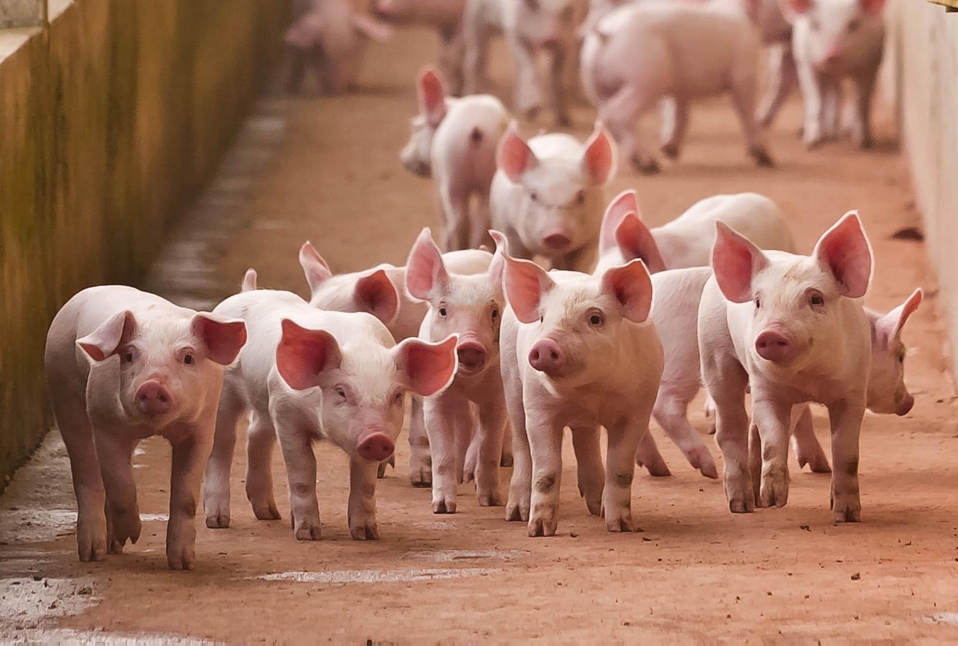 ubój mięsa wieprzowego wielkopolska